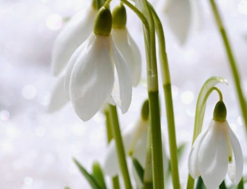 SNOWDROP SUPERSTAR